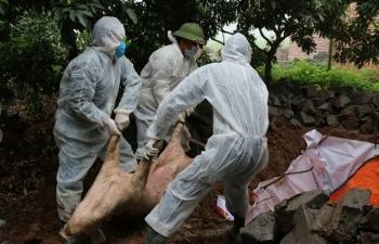Thêm tỉnh Bắc Kạn xuất hiện ổ dịch tả lợn châu Phi